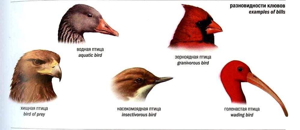 Попробуйте определить по клюву, чем питается каждая из этих птиц (насекомыми, зернами, небольшими зверьками и птицами)