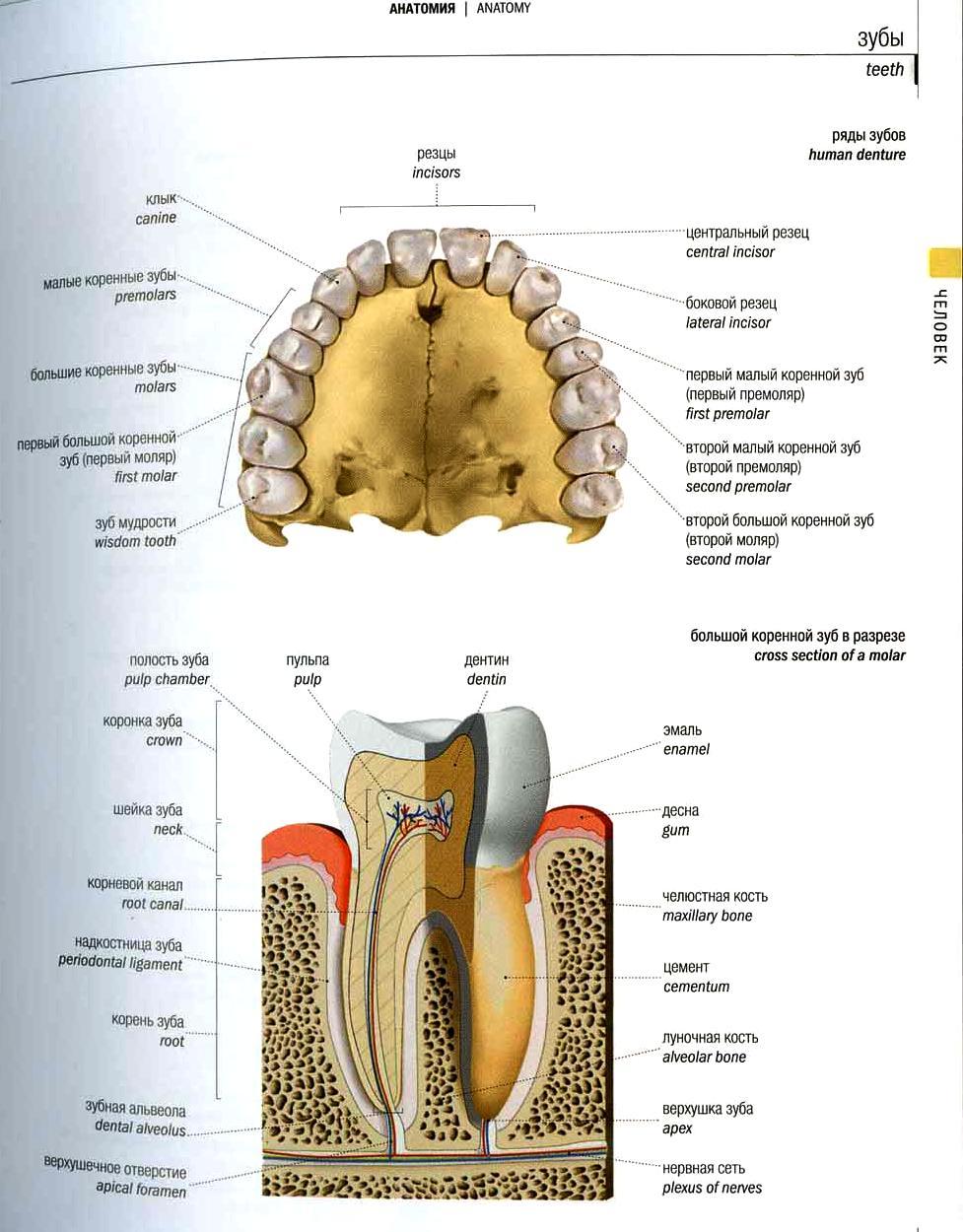 Расположение каналов в зубах схема